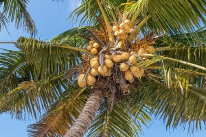 cutting down palm fronds and coconuts from a palm tree. Palm tree removal