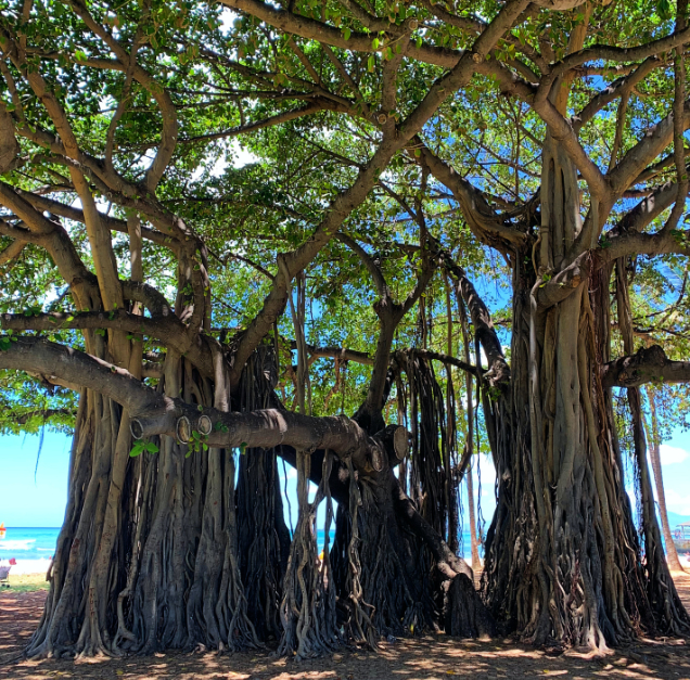 removing a banyan tree how to