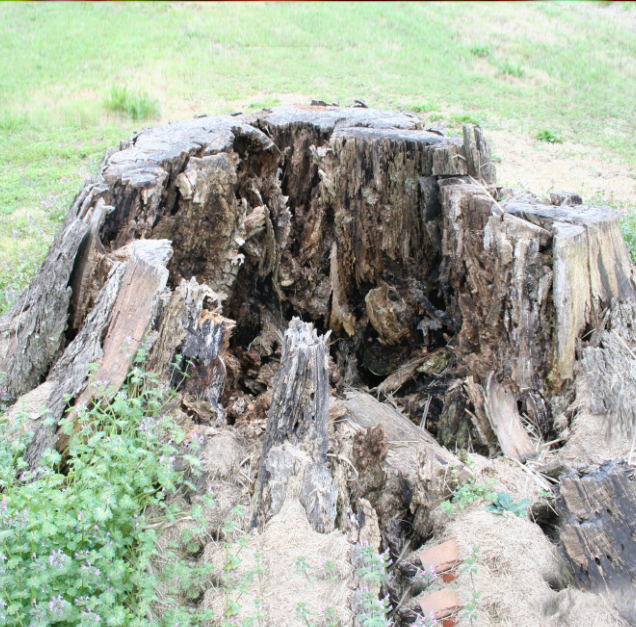 remove rotten tree stump